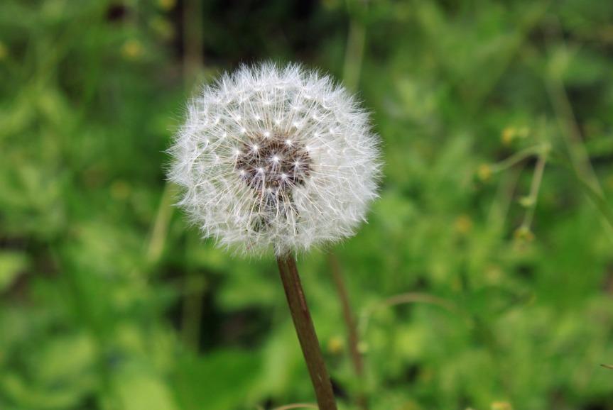dandelion-1390887_1280