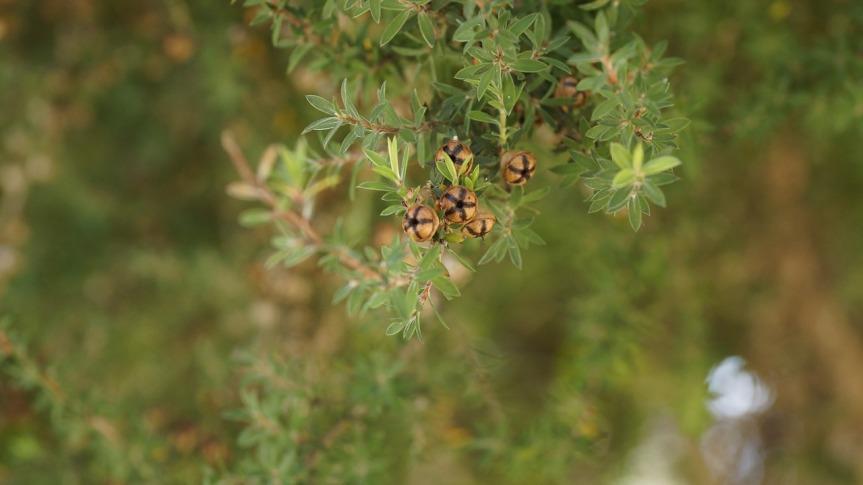 ჩაის ხე