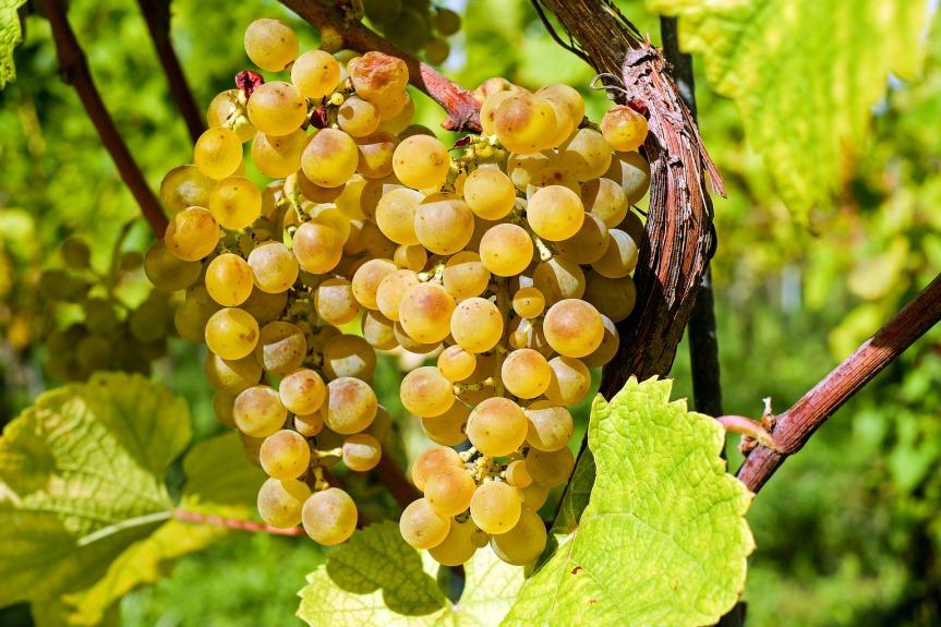 ყურძენი2